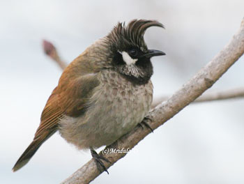 Himalayan Bulbul with a funky Hairstyle
