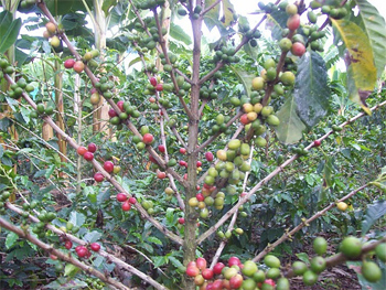 Coffee beans on the vine in Colombia's Coffee Triangle. Harrison Fox photo.