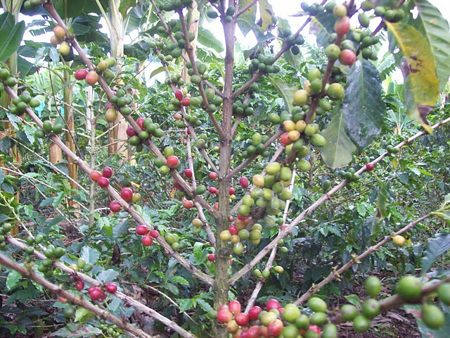 Coffee Beans in Colombia