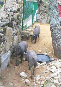 Pigs grow fat on black acorns, which give the local hams their rich flavor.