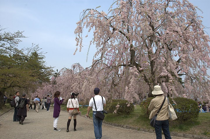 Viewing Sakura trees in Japan.