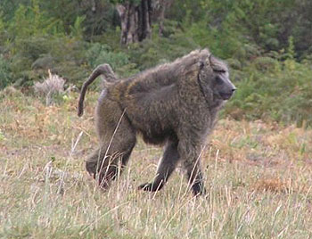 Big male baboon on the lowlands