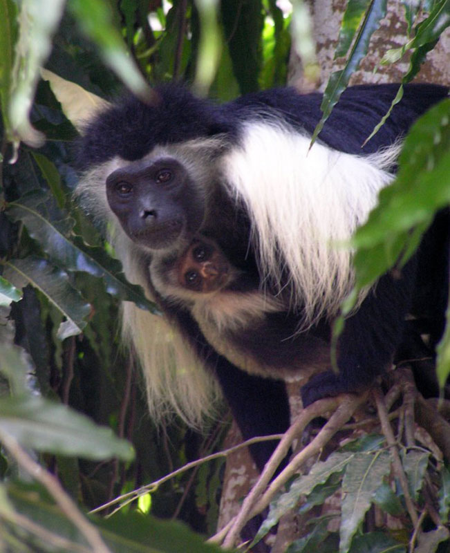Colobus Monkeys in the Forest in Kenya