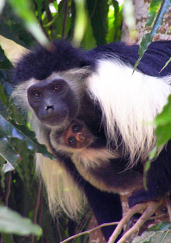Colobus monkeys in the forest