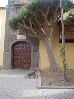 Indigenous dragon tree at the monastery entrance in La Laguna
