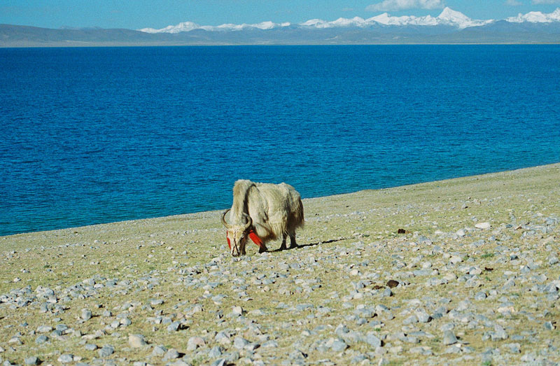 A yak on the Shore of Lake Namtso in Tibet. Photo by Mark LaMonica.