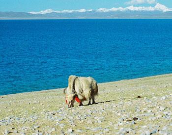 A yak on the Shore of Lake Namtso