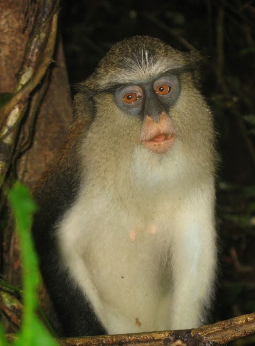 A Mona Monkey in the Tafi Atome Monkey Preserve in Ghana