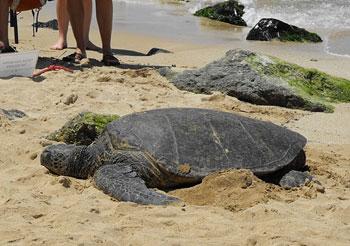 A sea turtle on Turtle Beach in Kauai