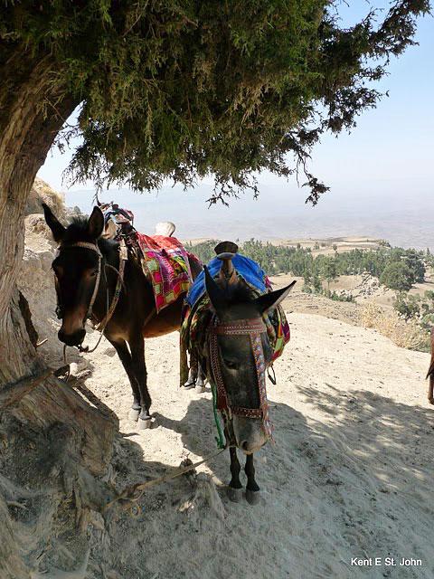 Mules for the climb to Ashetan Maryam