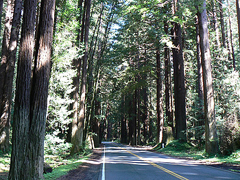 Redwood forest on the way to Fort Bragg.