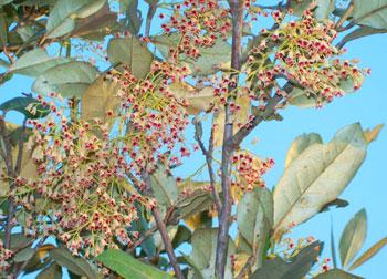 The Sundari Mangrove in full bloom