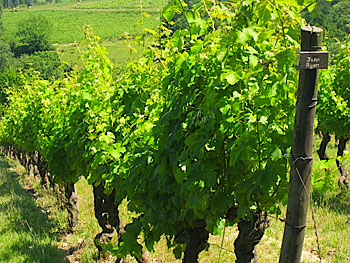 A Vine Share row at Chateau Haut Garrigue