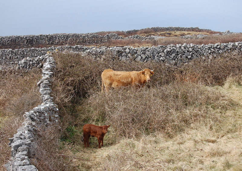 A cow and her calf in an enclosure on the Aran Islands
