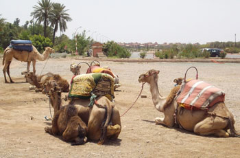 Camels taking a break in Ourrzazate, Morocco. Photos by Inka Piegsa-Quischotte.