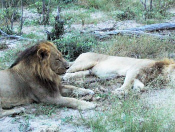 Obviously, we were boring the lions! While we snapped pictures, they dozed in and out of sleep.