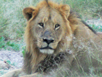 Still tired, the male lion lifted his head at the sound of the revving engine.