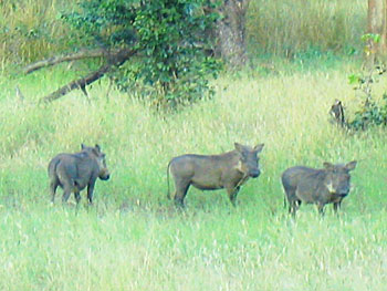 Warthog welcome wagon in Botswana's Okavango Delta