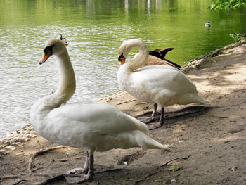 Swans at Palace Benrath
