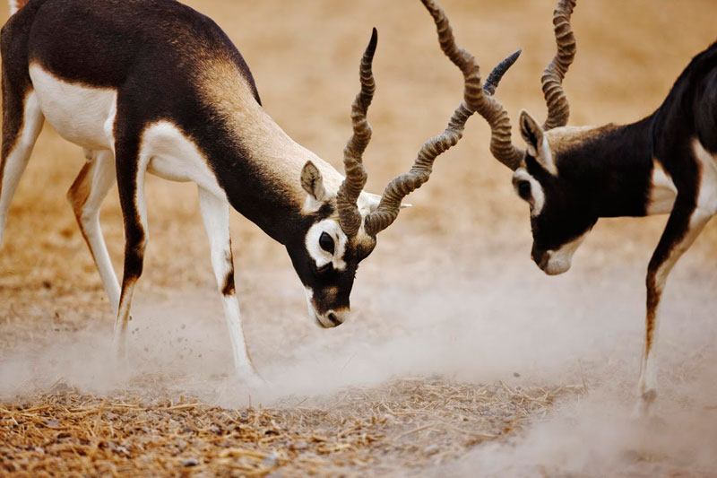 Blackbuck on Sir Bani Yas Island in the United Arad Emirates