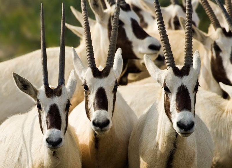 Oryx on Sir Bani Yas Island in the United Arad Emirates