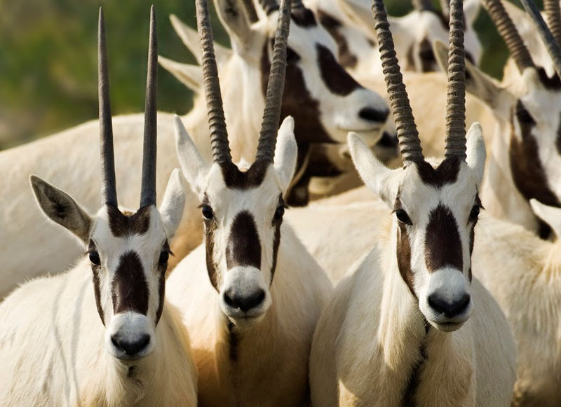 Oryx on Sir Bani Yas Island in the United Arad Emirates