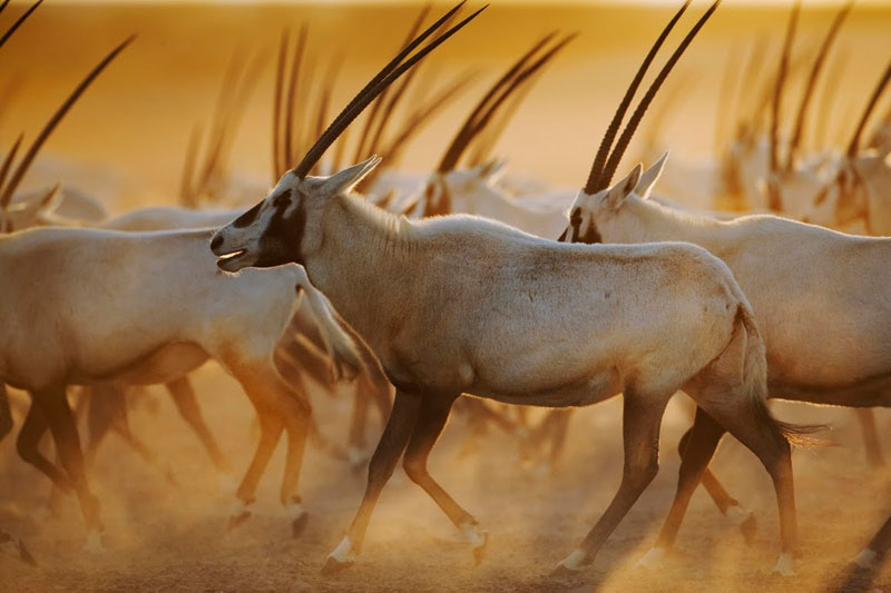 Oryx on the move on Sir Bani Yas Island in the United Arad Emirates
