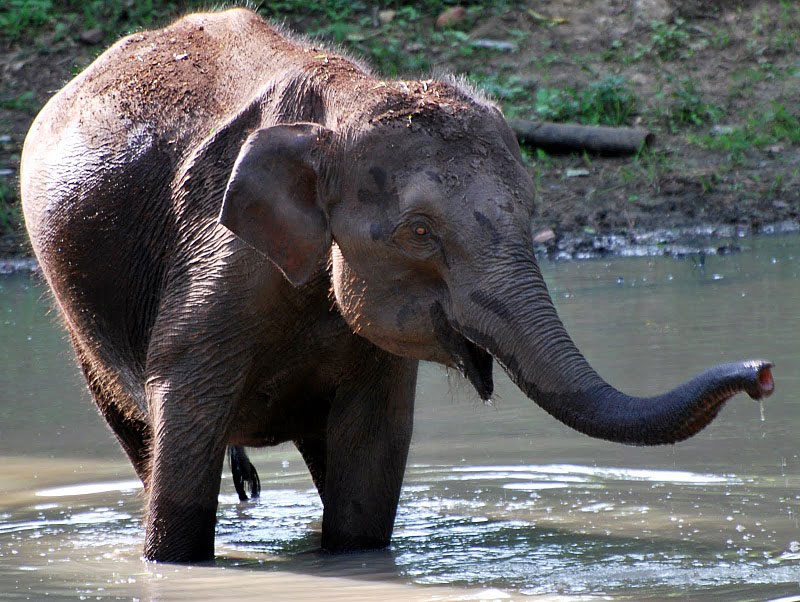A baby elephant takes a bath in the Kabini River in Karnatake, India