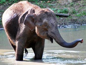 A baby elephant takes a bath in the Kabini River in Karnataka, India.
