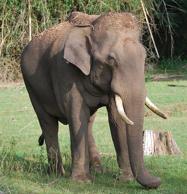 An Elephant in Nagarhole, India