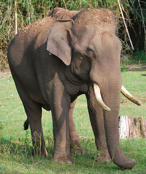 This tusker was hardly ten feet from us when we met him at Nagarhole.