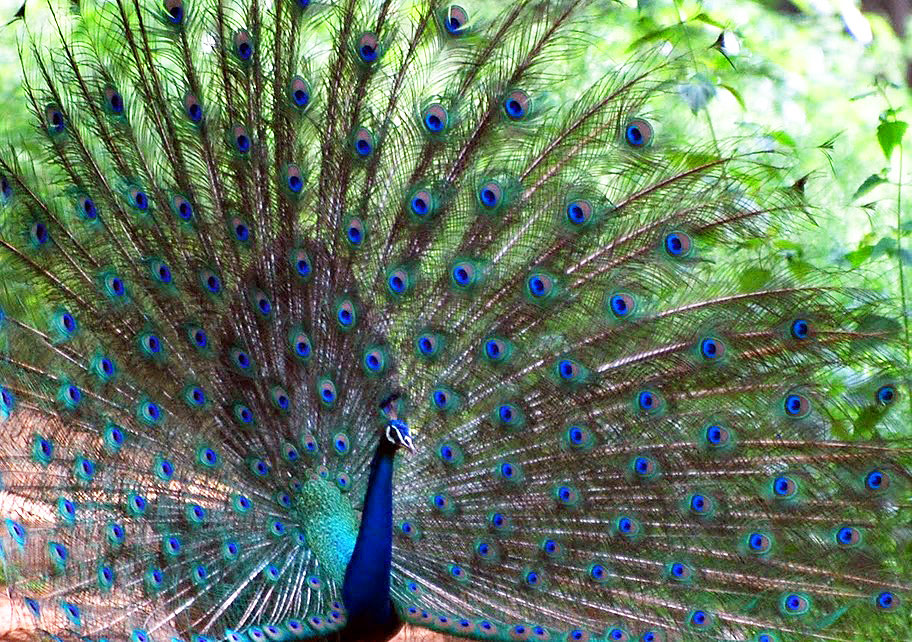 The peacock, the national bird of India