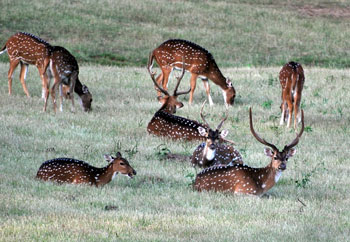 Spotted deer on the Kabini River