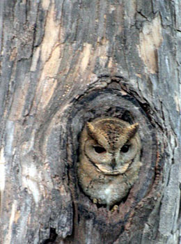 An owl taking a peek