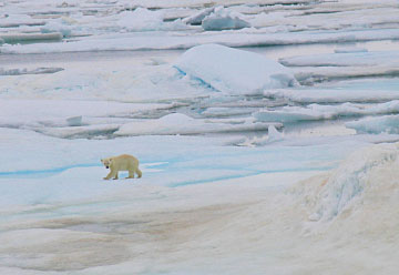 I barely saw a bear treading through the ice-filled sea.