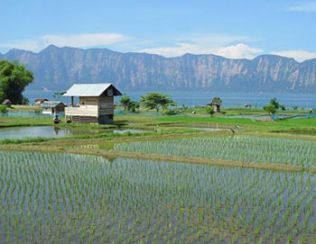 Rice paddies by Lake Maninjau.