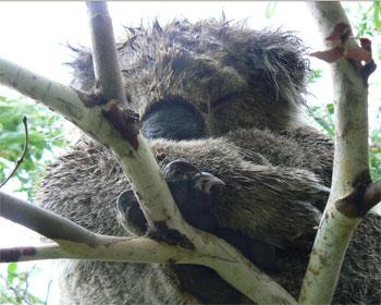 Sleepy koala on the trail. We petted him. He didn't mind.