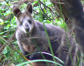 A swamp wallaby along the Great Ocean Road