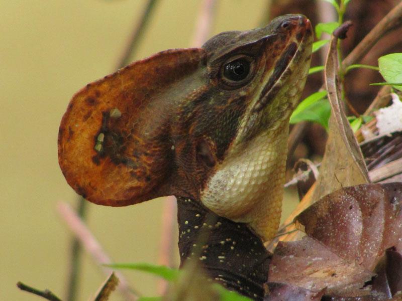 The Jesus Christ lizard at La Manigua Botanic Garden on the Pacific Coast of Colombia.