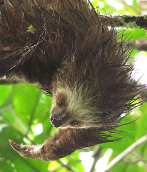 A two-toed sloth at La Minigua Botanic Garden on Colombia's Pacfici Coast. Photos by Pilar Quintana and Conor McShannon.