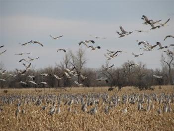Cranes feeding in corn stubble.