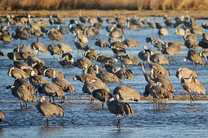 Sandhill cranes put Kearney, Nebraska on the map once a year. photos by Herb Hiller.