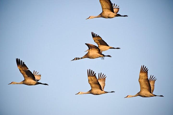 Flying cranes in Kearney, Nebraska.