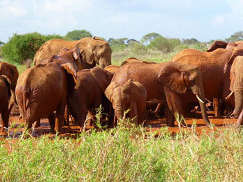 Large herd of elephants at Tsavo West