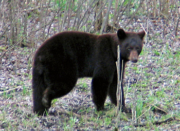 A bear visiting Vince Shute Wildlife Sanctuary