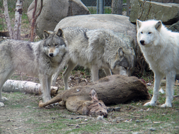 Wolves feeding on a deer carcass