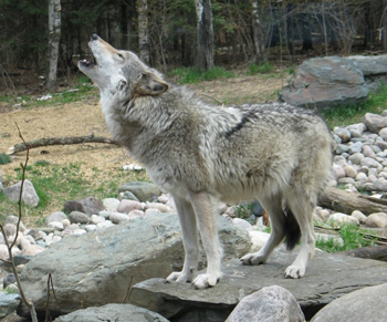 A wolf named Maya howls after feeding at the International Wolf Center.