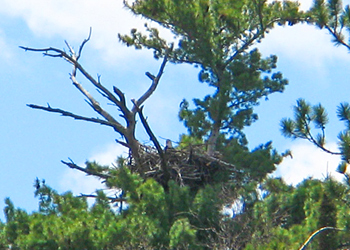 An eagle's nest