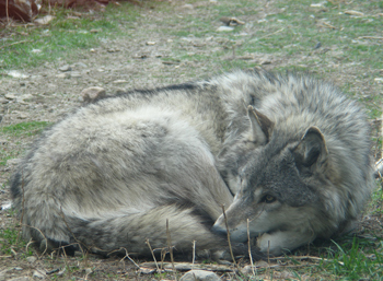 Grizzer resting