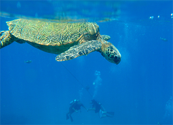 Honu, the Green Sea Turtle, lives in Maui. Trilogy Excursions stops at Turtle Town where you can snorkel or dive with them.